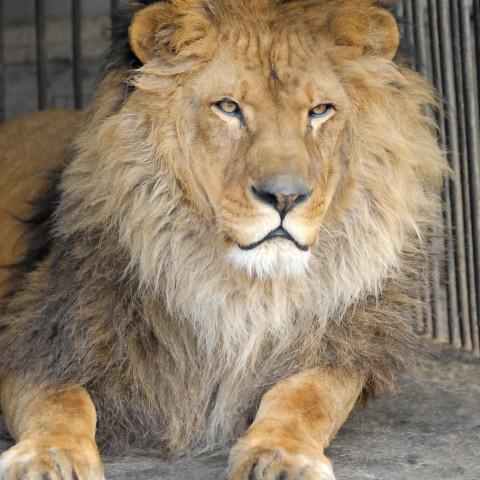 Лев – самый мужественный в зоопарке